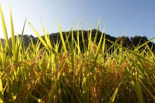 四賀の稲刈りは、「はぜかけ」